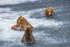 Grizzly bears of Katmai NP. Grizzly bears fishing for salmon at Brooks Falls, Katmai NP, Alaska Royalty Free Stock Images
