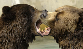 Grizzly bears kissing Royalty Free Stock Image
