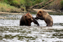 Grizzly bears. In the Knight Inlet in Canada Stock Images