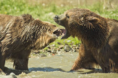 Grizzly Bears. Male and female grizzly bears engage in play behavior Royalty Free Stock Photos