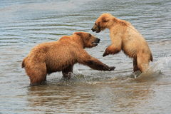 Grizzly Bears At Play. This image was taken at Katmai National Park, Alaska Royalty Free Stock Photo