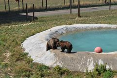 Grizzly Bears at Play. In Colorado Survival Wildlife Park in the pool area Royalty Free Stock Photography