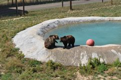 Grizzly Bears at play. In Colorado at the Survival Wildlife park. Pool area Royalty Free Stock Images