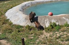 Grizzly Bears at play. In Colorado at the Survival Wildlife park. Pool area Stock Images