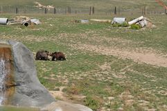 Grizzly Bears at play. In Colorado at the Survival Wildlife park. Pool area. Pasture field Royalty Free Stock Photo