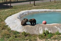 Grizzly Bears at play. In Colorado at the Survival Wildlife park. Pool area. Pasture field Royalty Free Stock Photos