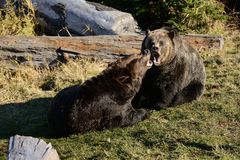 Grizzly Bears play on grass Stock Photo