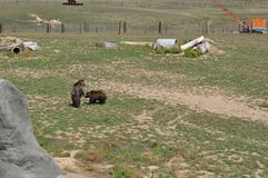 Grizzly Bears at play. In Colorado at the Survival Wildlife park Royalty Free Stock Photo