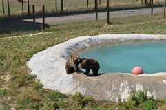 Grizzly Bears at play. In Colorado at the Survival Wildlife park. Pool area Stock Photo