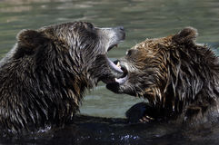 Grizzly Bears playing. Two grizzly bears playing in the water biting each others face royalty free stock photo