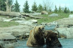 Grizzly Bears playing. Two grizzly bears play fighting in water Stock Photos