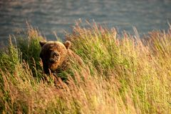 A grizzly bears sleeps in the grass royalty free stock photos