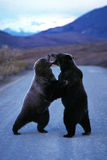 Grizzly bears standing and fighting in the middle of the road (U Stock Photography