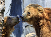 Grizzly Bears. Two Grizzly Bears Close Up Head Shots royalty free stock photography