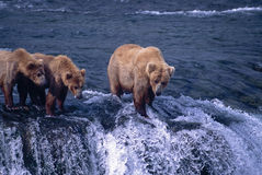 Grizzly bears waiting for migrating salmon. Grizzly bears,sow with yearling cubs,at Brooks Falls in Katmai National Park,Alaska Stock Images