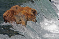 Grizzly bears on waterfall. Two Grizzly bears stood on waterfall looking for salmon fish, Brooks River Falls, Katmai National Park, Alaska Stock Photos