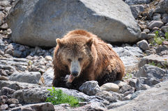 Grizzly bears at Zoo St-Felicien, Quebec, Canada Stock Image