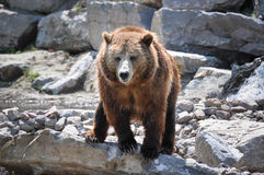 Grizzly bears at Zoo St-Felicien, Quebec, Canada Royalty Free Stock Images