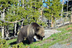 Grizzly in beweging Royalty-vrije Stock Foto