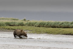 Grizzly and big Salmon. A Grizzly is hunting a big Salmon in a shallow creek, during the tide. The Salmon is caught. Photo taken on August, 2016, Hallo Bay Royalty Free Stock Photo