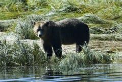 Grizzly bij de kust Stock Afbeeldingen