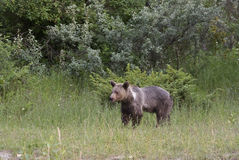grizzly blisko drewien Zdjęcie Stock