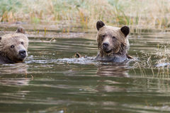 Grizzly brothers Royalty Free Stock Photo