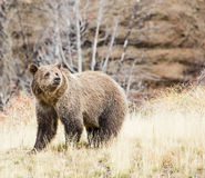 Grizzly brown bear dry grass forest Stock Photos