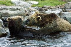 Grizzly (Brown) Bear Fight Royalty Free Stock Photography