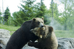 Grizzly (Brown) Bear Fight Royalty Free Stock Photos