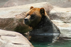 Grizzly (Brown) Bear Stock Photo
