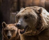 The Grizzly stock images