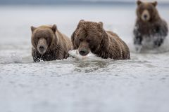 A grizzly carrying a Salomon, pursued by two grizzly bears, in Katmai. stock image