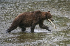 Grizzly catch. A grizzly bear heads to shore to eat his catch of salmon.  Tongass national forest, Alaska Royalty Free Stock Photography
