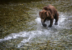 Grizzly chase. A grizzly bear chases two chum salmon as they swim for their lives in a creek in the Tongass national forest, Alaska.  The salmon are speeding Royalty Free Stock Photography