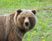 Grizzly Chewing Royalty Free Stock Photography