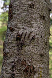 Grizzly Claw Marks On Tree Royalty Free Stock Image