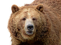 Grizzly close-up isolated on white Royalty Free Stock Photo
