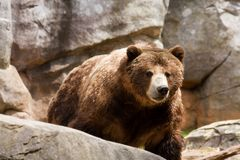 Grizzly Coming Royalty Free Stock Photo
