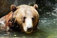 Grizzly Cooling Off. This Grizzly Bear & x28;Ursus Arctos& x29; originally from Yellowstone Park, now resides at the San Diego Zoo in California stock photography