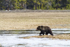 Grizzly Crossing stock photography
