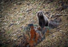 Grizzly cub Denali National Park stock photos