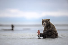A Grizzly cub enyoing its meal. stock images