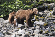 Grizzly cub with fish near mother Stock Image