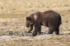 Grizzly cub looking for clams Stock Images