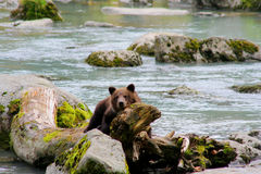 Grizzly cub resting on driftwood Stock Image