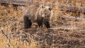 Grizzly Cub Royalty Free Stock Photo
