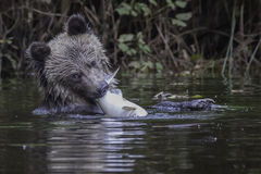 Grizzly cub with salmon royalty free stock photo