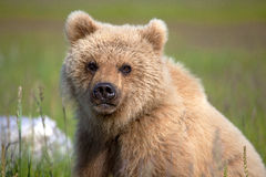 Grizzly cub Royalty Free Stock Images