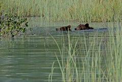 Grizzly Cubs dopłynięcie w Jeziornym Clark fotografia stock